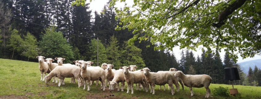 Ovce romney po střiži